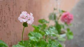 Het water geven van bloemen in tuin dichtbij huis stock footage