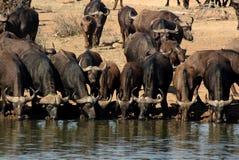 Het Water geven van buffels Royalty-vrije Stock Foto