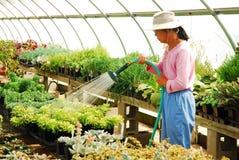 Het water geven van de installaties in een greenhosue stock afbeelding