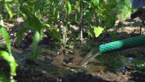 Het water geven van de tuinman tomaten stock video