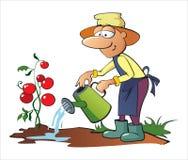 Het water geven van de tuinman tomaten Stock Foto