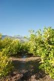 Het water geven van een citrusvruchtenaanplanting Royalty-vrije Stock Afbeelding