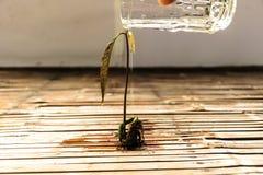Het water geven van een mangoboom aan de groei stock foto