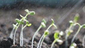 Het water geven van groene en kleine spruiten op grond stock video
