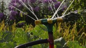 Het water geven van installaties in de tuin van het huis in de tuin in de zomer stock footage