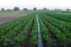 Het water geven van landbouwgewassen, platteland stock fotografie