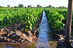 Het water geven van landbouwgewassen, platteland het natuurlijke water geven royalty-vrije stock fotografie