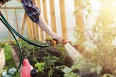 Het water geven van zaailingstomatenplant in serretuin Het tuinieren concept Het gezonde en langzame leven Stock Foto