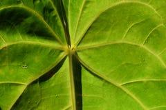 Het water groen Costa Rica van de bladaard royalty-vrije stock fotografie