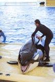 Het water toont met orka's in de pool, Loro parque, Tenerife Royalty-vrije Stock Afbeeldingen