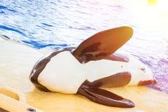 Het water toont met orka's in de pool, Loro parque, Tenerife Stock Foto