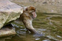 Het water van de aap royalty-vrije stock afbeeldingen