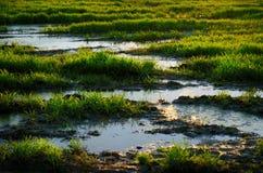 Het water van het moeras onder groen gras Stock Afbeeldingen