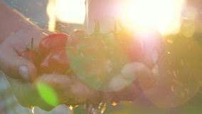 Het Water van landbouwersholds handful Cherry Tomatoes And Pouring Them tegen Zonsondergangstralen stock video