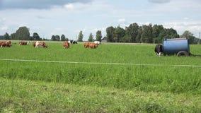 Het waterreservoir op wielen en koekudde eet gras in landelijk weiland 4K stock footage