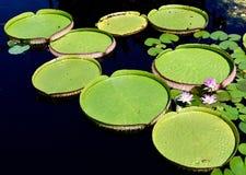 Het Waterschotels van Victoria Water Lilies /Giant stock foto's