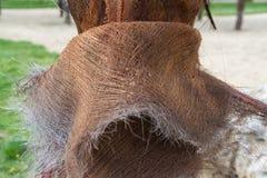 Het Weefselboomstam van de detailsinstallatie van een Palm Stock Fotografie