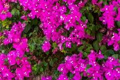 Het weelderige bloeien van Bougenvillea-klimplant op de muur van een huis in een zuidelijk land stock afbeeldingen