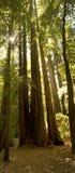 Het weelderige Bos van de Californische sequoia, Californië Royalty-vrije Stock Fotografie