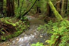 Het weelderige Bos van de Californische sequoia en Stroom, Californië Stock Fotografie