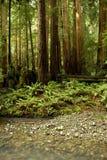 Het weelderige Bos van de Californische sequoia en Stroom, Californië Royalty-vrije Stock Foto's