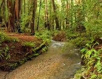Het weelderige Bos van de Californische sequoia en Stroom, Californië Stock Foto's