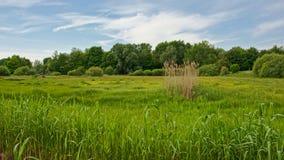 Het weelderige groene landschap van het de zomermoerasland royalty-vrije stock fotografie