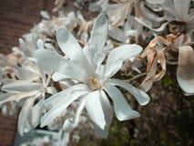 Het weelderige Witte Magnoliabloem Hoofd Openstellen Stock Foto's