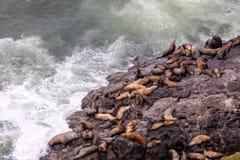 Het Weergeven bij een groep zeeleeuwen die op rotsen rusten dichtbij Zeeleeuwen holt, Oregon uit stock fotografie