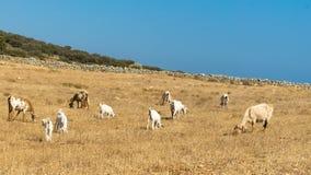 Het weiden gebied voor geiten en schapen bij Paros-eiland in Griekenland stock foto's