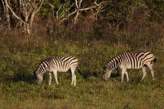 Het Weiden twee Zebras Royalty-vrije Stock Afbeelding
