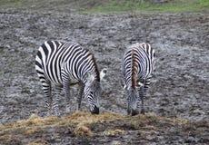 Het Weiden twee Zebras Royalty-vrije Stock Foto's