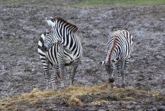 Het Weiden twee Zebras Stock Foto