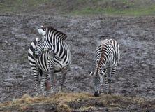 Het Weiden twee Zebras Royalty-vrije Stock Foto