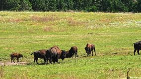 Het Weiden van buffels stock video