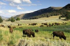 Het weiden van de bizon in Nationaal park Yellowstone Royalty-vrije Stock Afbeeldingen