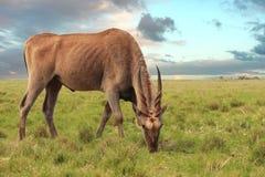 Het weiden van de elandantilope Royalty-vrije Stock Afbeeldingen