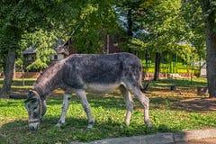 Het Weiden van de ezel royalty-vrije stock foto's