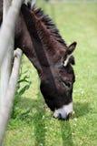 Het weiden van de ezel buiten de omheining. Royalty-vrije Stock Foto's
