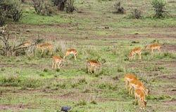 Het Weiden van de impala Stock Foto's