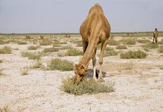 Het weiden van de kameel Stock Afbeelding