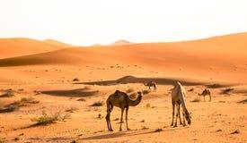 Het weiden van de kameel Royalty-vrije Stock Foto's
