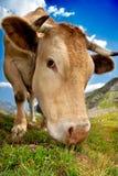 Het weiden van de koe Royalty-vrije Stock Afbeeldingen