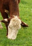 Het weiden van de koe Royalty-vrije Stock Foto's