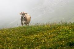 Het weiden van de koe Stock Afbeeldingen