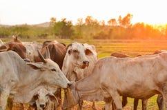 Het weiden van de koe Stock Afbeelding
