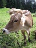 Het weiden van de koe Stock Foto