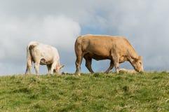 Het weiden van de koe stock foto's