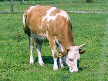 Het weiden van de koe Royalty-vrije Stock Foto