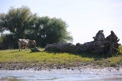 Het weiden van de koe stock fotografie